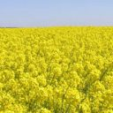 koolzaad, biobrandstof, fossiele brandstoffen, maïs, suikerbieten