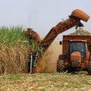 suikerriet, oogsten