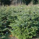 Nordmann, kerstboom, Shell